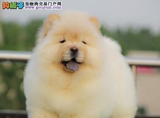 肉嘴紫舌头十分可爱的沈阳松狮犬找新家 终身免费售后