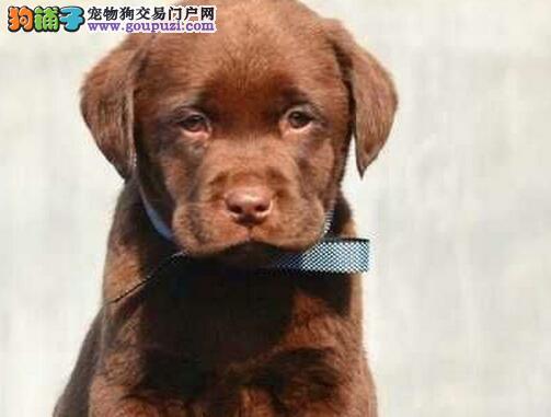 狗场直销金华拉布拉多犬品相好血统正宗保健康