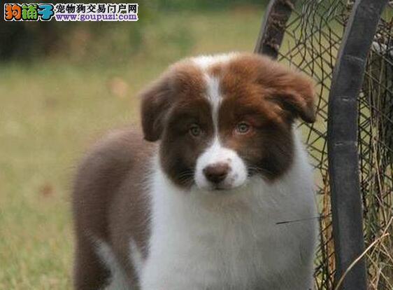 专业犬舍出售长沙边境牧羊犬 可签署终身质保协议