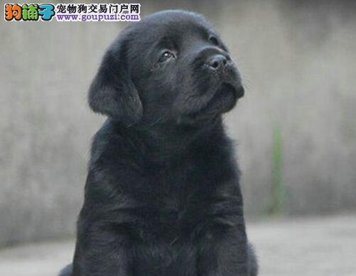 大骨架公母均有的沈阳拉布拉多犬找新家 多只任君选择