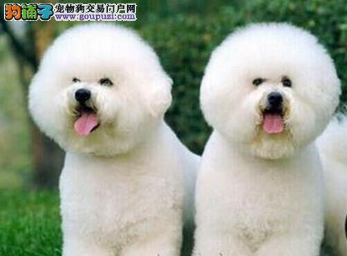 法国极品纯卷毛比熊幼犬,可当面测试,健康有保!