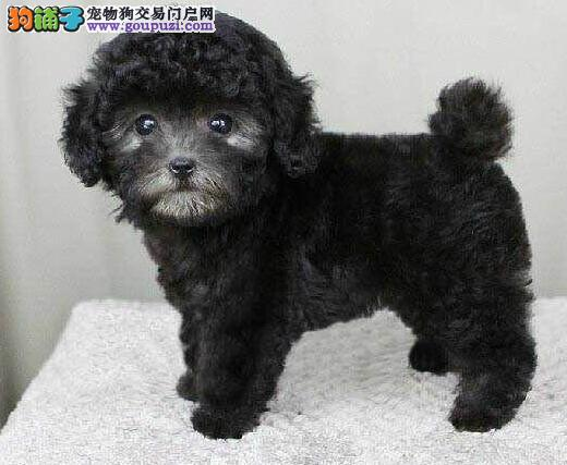 天津自家犬舍出售韩系泰迪犬 所有犬只均保证纯正健康