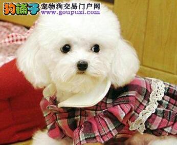 高品质韩系血统昆明贵宾犬特价转让 可办理血统证书