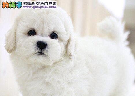 实体店出售纯种法国卷毛比熊犬品种齐全多只挑选包健康