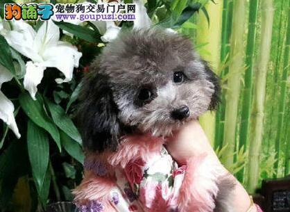 泰迪犬宝宝热销中,CKU认证绝对保障,签协议可送货