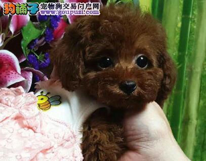 出售北京泰迪犬多只可选颜色多样有健康保证和证书