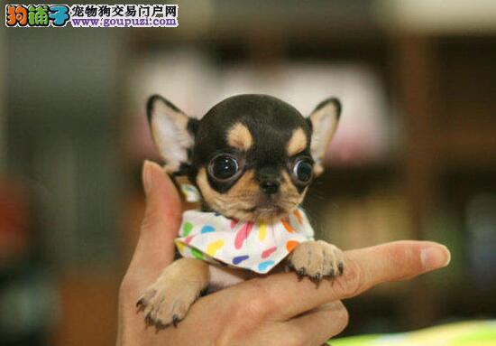 专业的吉娃娃犬舍终身保健康购犬可签协议