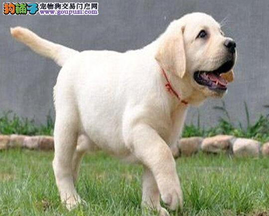直销价格转让优秀血统拉布拉多犬 欢迎来长春犬舍购买
