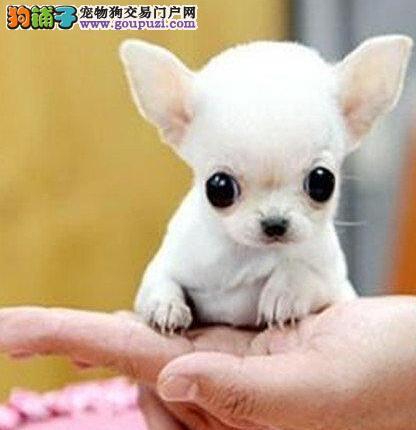 健康大眼睛漂亮可爱的吉娃娃待售中 武汉市内可送货