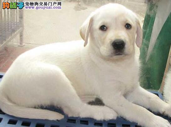 专业繁殖纯种拉布拉多疫苗齐全送用品送狗粮