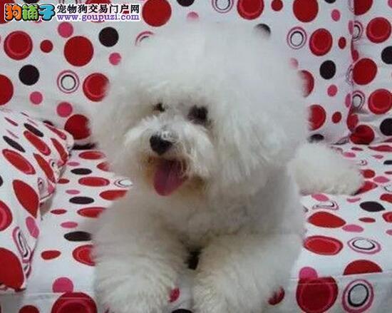 像棉花糖一样的广州比熊犬找新主人 建议上门看狗