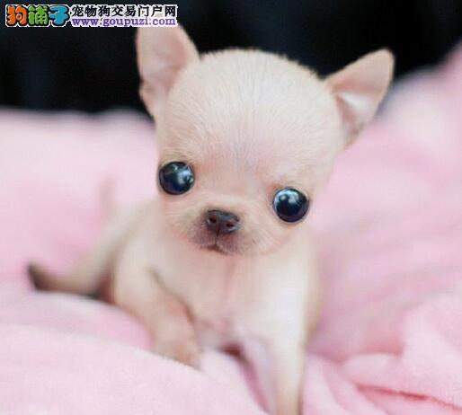 重庆知名犬舍直销金鱼眼苹果头吉娃娃幼犬 速来选购