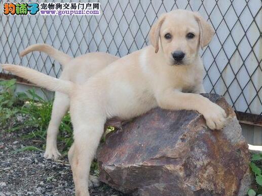 直销可爱纯种济南拉布拉多犬 血统纯正可办理证书