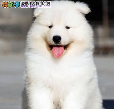 上海正规养殖场促销精品萨摩耶保活保健康疫苗已做