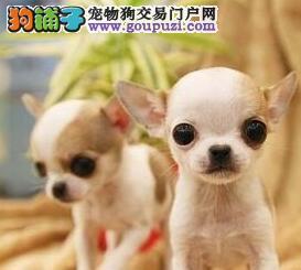 专业正规犬舍热卖优秀吉安吉娃娃爱狗人士优先狗贩勿扰