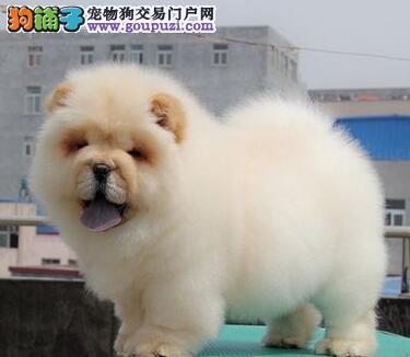 正宗好品质金华松狮犬优惠促销购买签订活体协议