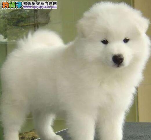 信誉犬舍专业繁殖出售贵阳萨摩耶 有健康证书可签协议