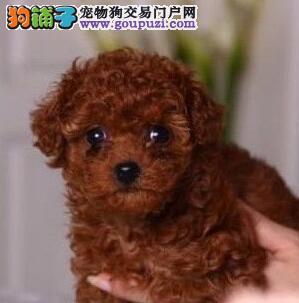 热销郑州繁殖茶杯体贵宾犬 签协议送狗狗用品