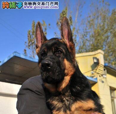血统纯正的成都德国牧羊犬直销有品质保证