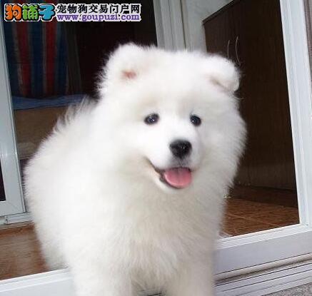 养殖场低价转让纯种萨摩耶犬 郑州地区购犬送用品