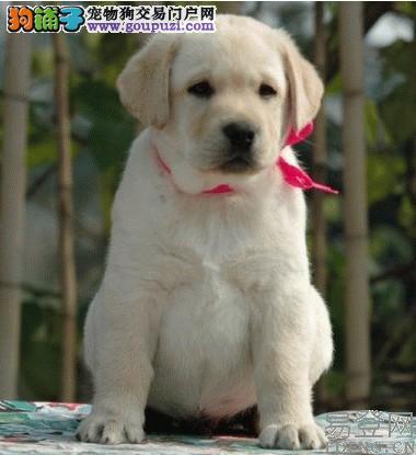 黄色拉布拉多小狗多少钱一只 广州纯种拉多去哪里买好