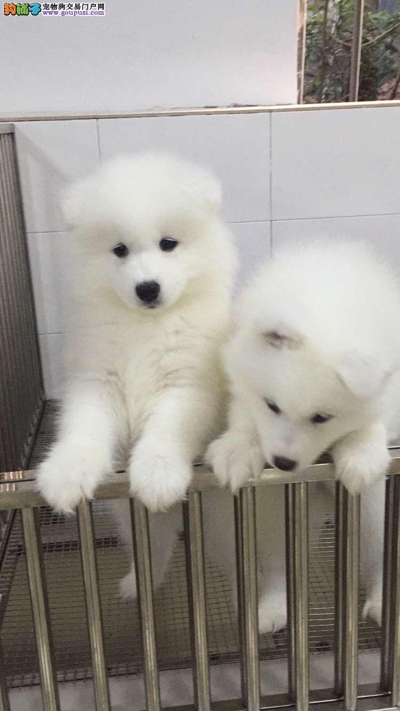 萨摩耶小狗多少钱一只 广州在哪买萨摩耶小狗比较好
