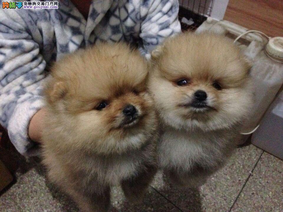 纯种球体博美多少钱一只 广州哪里有出售博美的小狗