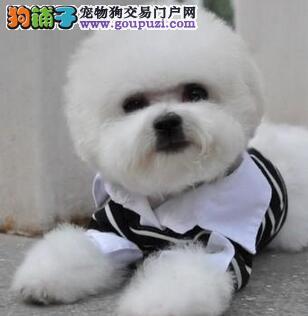 极品粉扑型比熊犬特价出售 徐汇地区有实体店欢迎选购