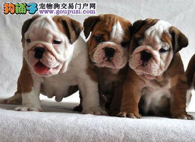 斗牛犬宝宝出售自己家养的疫苗狂犬全打完4个多月