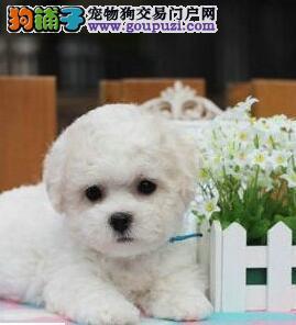 纯白色卷毛无体味比熊犬出售 宠物狗比熊狗 纯种比熊