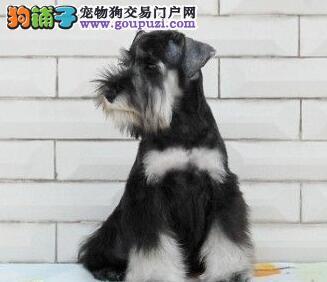 出售椒盐色大胡子的昆明雪纳瑞幼犬 可随时视频选购犬