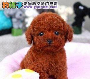 南昌自家繁殖多只泰迪犬出售中公母都有保证血统
