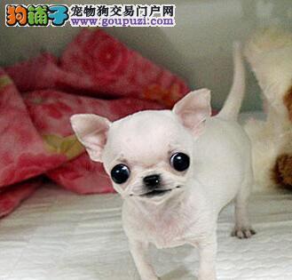 狗场热销宁波吉娃娃 超小型苹果头大眼睛