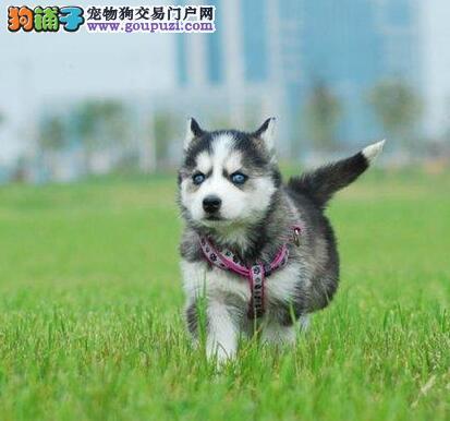 《哈士奇》幼犬我专业你放心进入惊喜多多