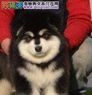 赛级阿拉斯加犬幼犬,纯度100%保证健康,签协议可送货