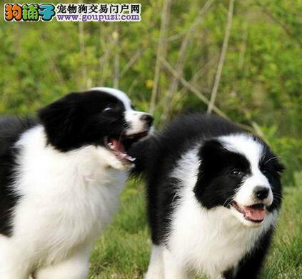 宁波正规犬舍出售边境牧羊犬 包纯种包健康送用品