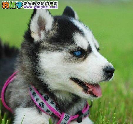 温州纯种蓝眼三把火哈士奇宝宝找新家 想要的快来