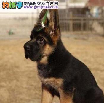 株洲基地热卖顶级血统德国牧羊犬可办理血统证书