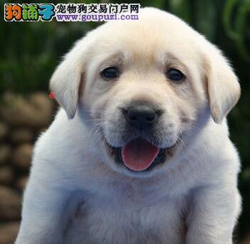 冠军级血系拉布拉多犬西安信誉犬舍直销 品相好