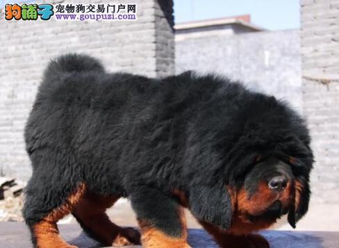 武汉震撼来袭獒园直售精品狮头藏獒 欢迎上门选狗
