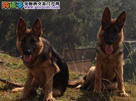 天津养殖场直销完美品相的德国牧羊犬我们承诺售后三包