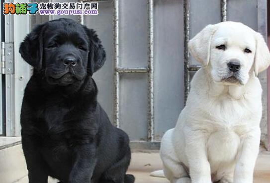自家繁殖的保定拉布拉多犬 公母均有 多只可选购