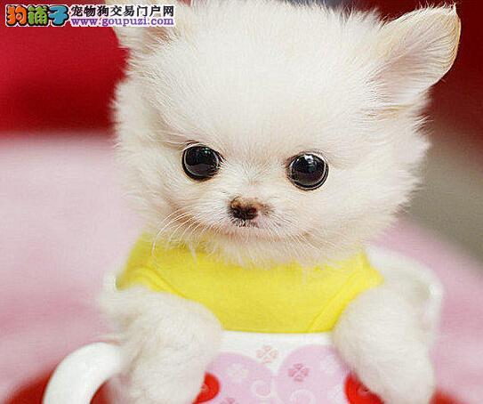 萌宠来袭 白富美的最佳搭档 哈多利球版博美犬无锡出售