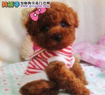 顶级泰迪犬宝宝、公母均有多只选择、签订活体协议