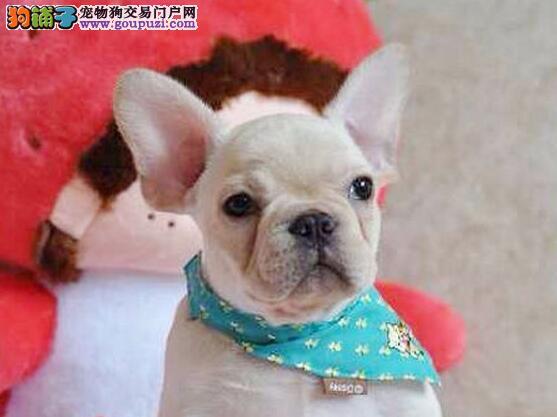 专业犬舍 精品法牛幼犬 包健康纯种 购犬签协议