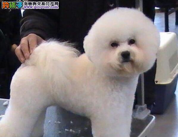 *国际cdu认证犬舍*比熊幼犬|纯种|幼犬|