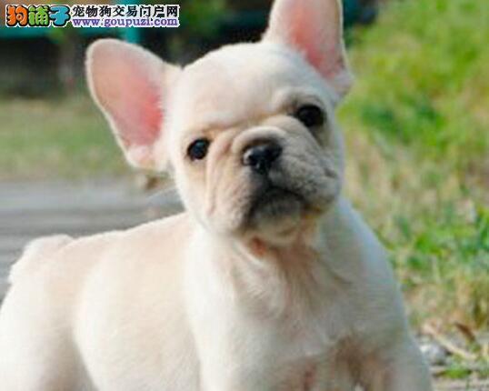 CKU认证犬舍 专业出售极品 法国斗牛犬幼犬金牌店铺有保障