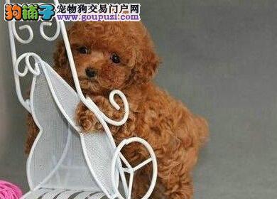 终身保障 纯种健康韩国血统茶杯玩具贵宾犬苏州现热卖