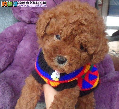 精品纯种天津贵宾犬出售质量三包CKU认证品质绝对保障