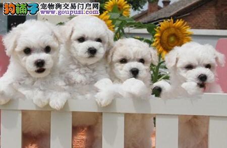 出售棉花糖版甜美脸型的大连比熊犬 我们承诺售后三包